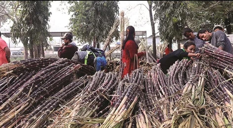 सर्लाहीका उखु उत्पादक किसानले अझै पाएनन् उखुको बक्यौता रकम